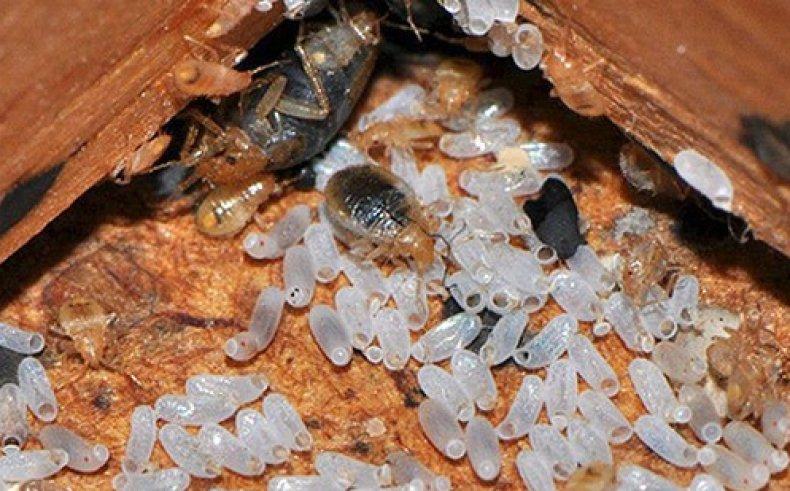 Клопы в диване с личинками